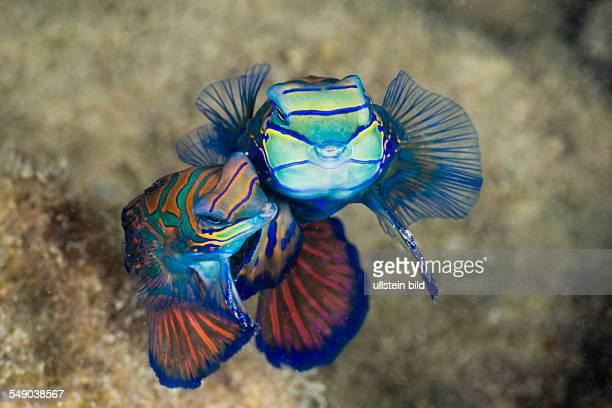 Mating Mandarinfish Syhchiropus splendidus Micronesia Palau