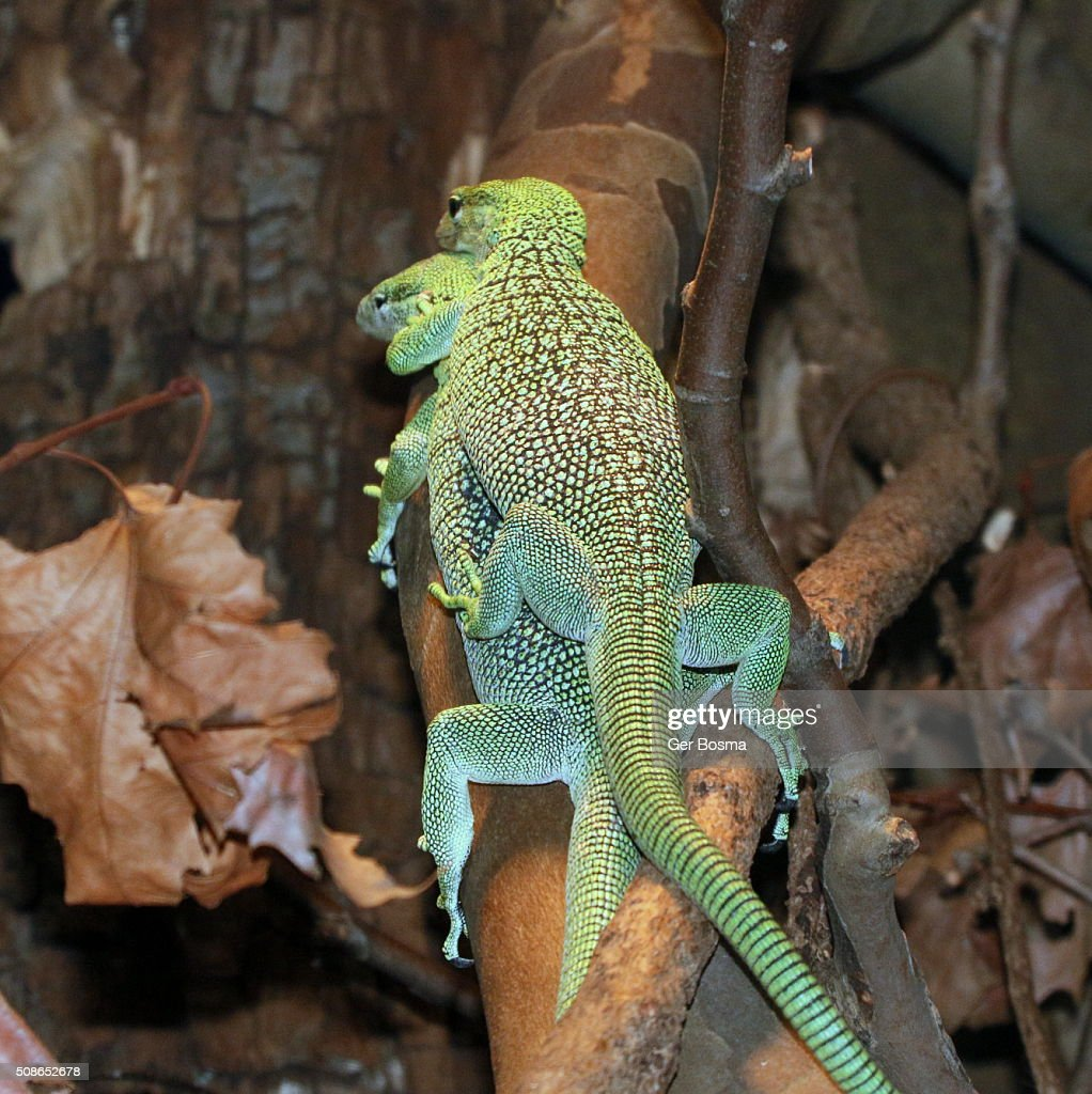 Mating New Guinea Emerald tree monitors : Stock Photo