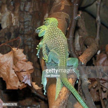 Mating New Guinea Emerald tree monitors : Stock Photo