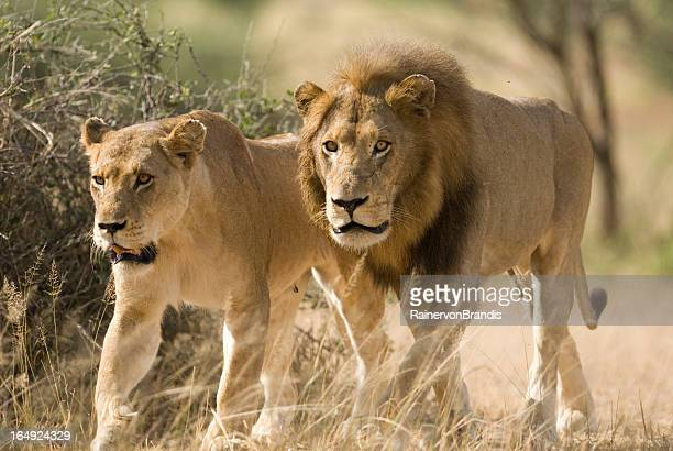 mating pair of wild lions