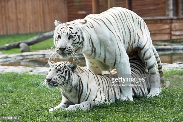Mating white Bengal tigers in captivity