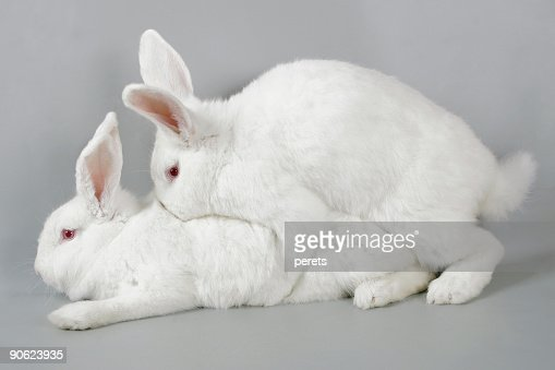 Mating white rabbits