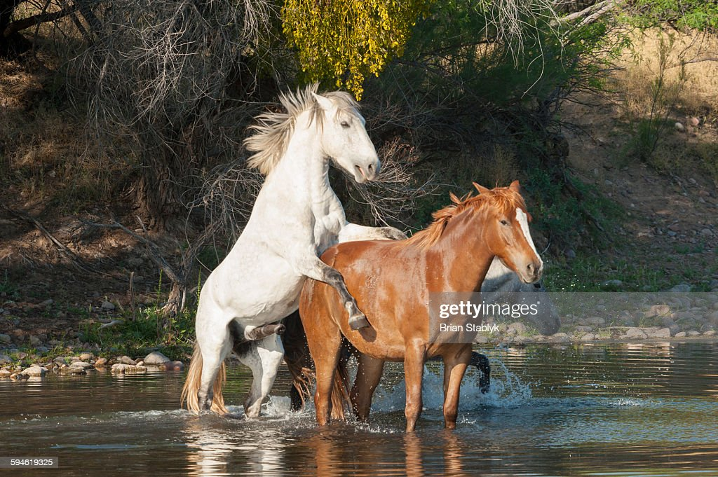 Mating Wild Horses in Water