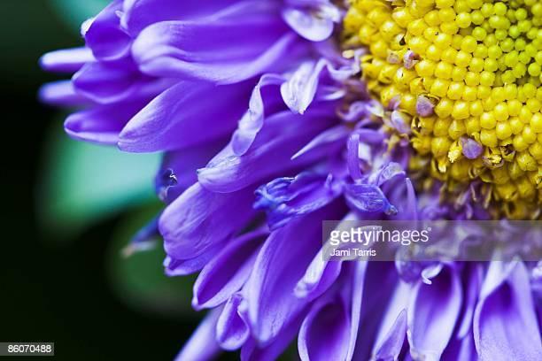Matsumoto Aster flower