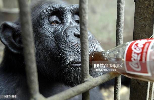 Matt Hartley South African vet gives medicinal drugs in a Coke bottle 09 August 2004 to a 50 yearold chimpanzee in Abidjan zoo Vetinerary surgeons...