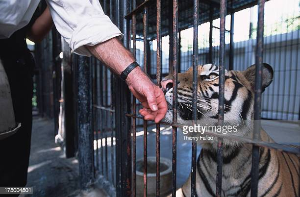Matt Hunt an animal specialist hired by the American NGO WildAid to improve the conditions at the public zoo of Phnom Tamao He is fondling a tiger...