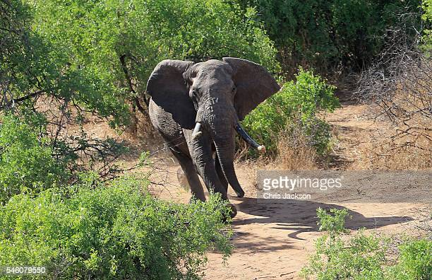 'Matt' northern Kenyas largest known bull elephant appears from the bush after being tranquilised by a Kenya Wildlife Service vet from a helicopter...