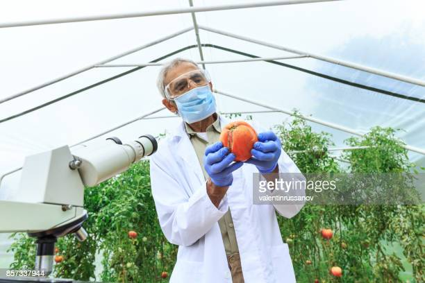 Mature agronomist observing vegetables in greenhouse