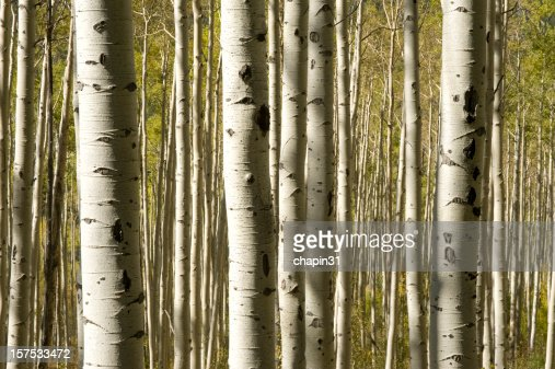 Mature aspen tree trunks during the fall season
