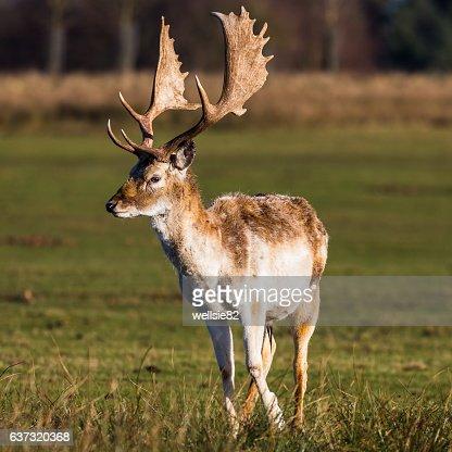 Mature buck