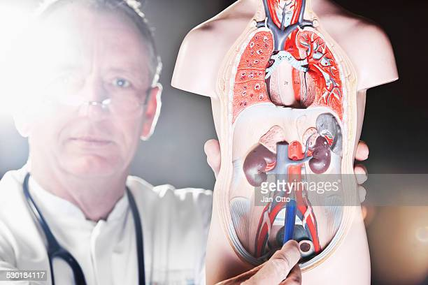 Mature doctor pointing at aorta abdominalis