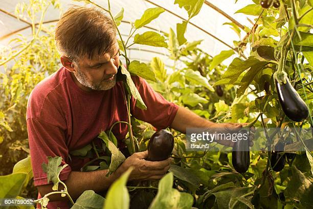 Mature farm worker picking eggplants in polyethylene tunnel.