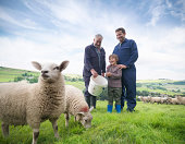 Mature farmer, adult son and grandson feeding sheep in field