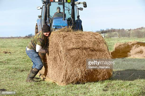 Mature farmer rolling hay stack in dairy farm field
