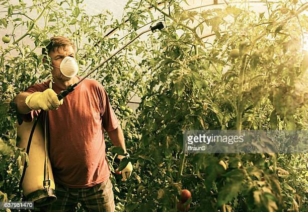 Mature farmer spraying his tomatoes in a polyethylene tunnel.
