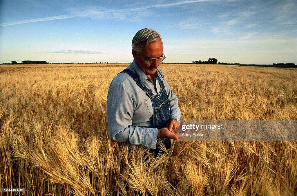 Mature farmer standing in barley (Hordeum sp.) field : Stock Photo
