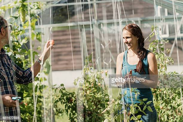 Mature gardener showing tomato to coworker in greenhouse