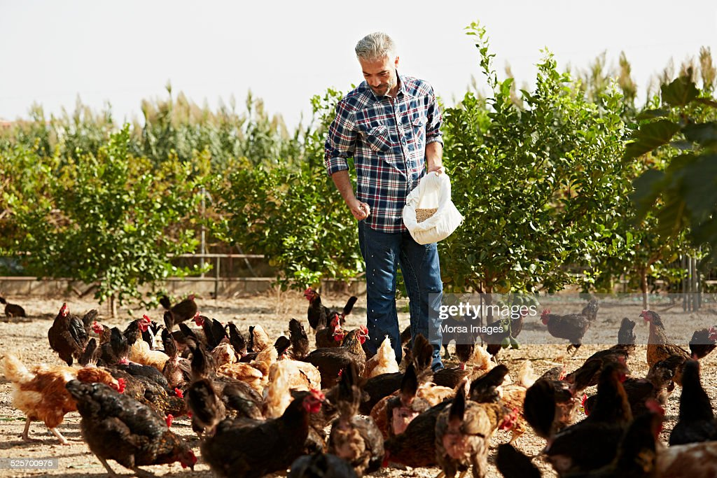 Mature male worker feeding hens at poultry farm