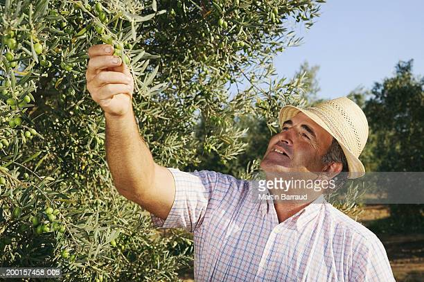 Mature man inspecting olive tree in grove