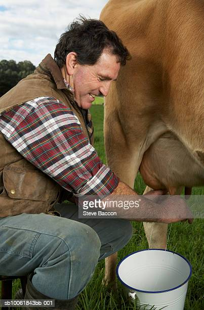 Mature man milking cow on meadow, side view
