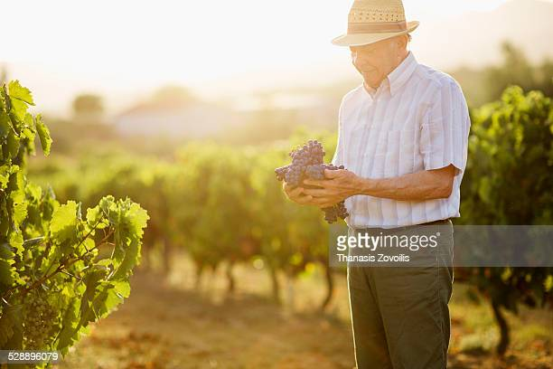 Mature man standing in vineyard holding grapes