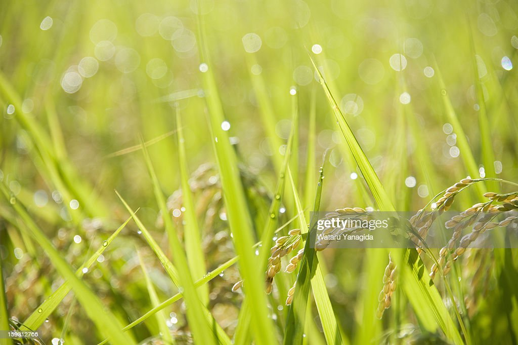 Mature rice with dew : Stock Photo