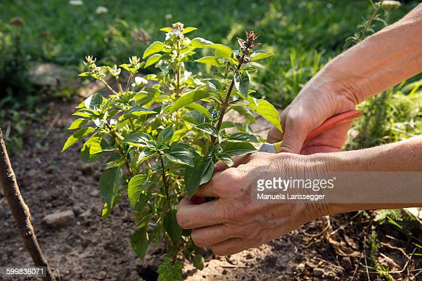Mature woman gardening, cutting plant with secateurs, close-up