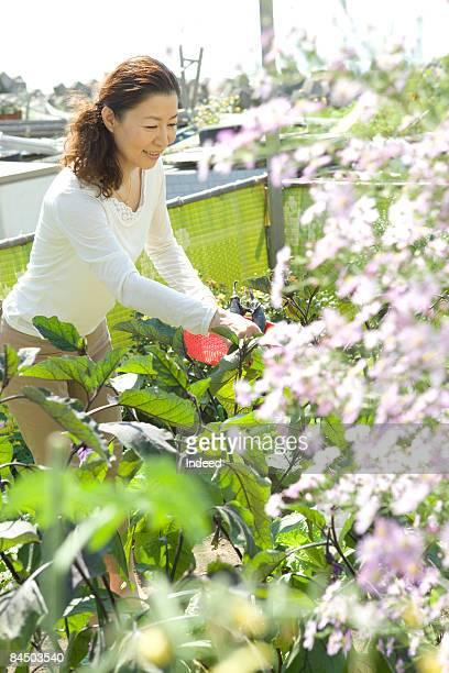 Mature woman harvesting egglpant at garden
