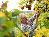 Mature woman picking apples