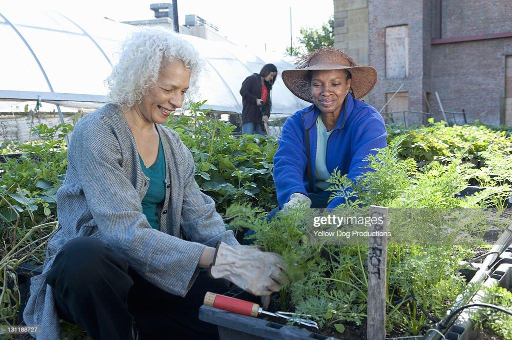 Mature Women Working in Urban Community Garden : Stock Photo