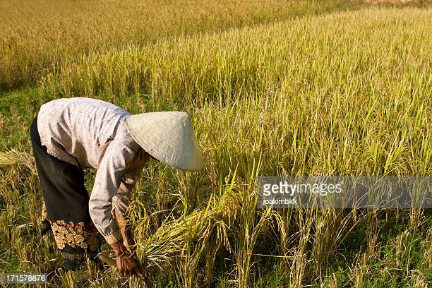 Matured woman with straw hat harvesting the rice