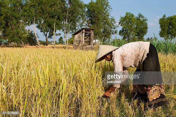Abgehangenes Frau mit Strohhut ernten Reis