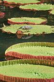 Mauritius, Giant Lilies (Victoria Amazonica)