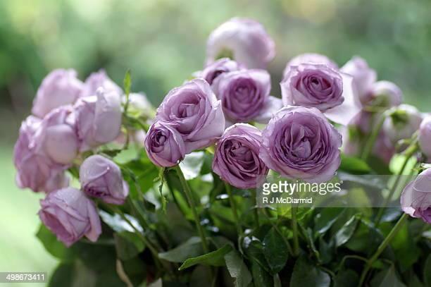 Mauve roses after a sunshower