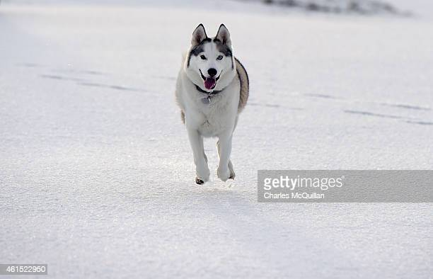 Max a Siberian Husky dog enjoys the snow and the empty fairways of Royal Portrush Golf Club on January 14 2015 in Antrim Northern Ireland The...