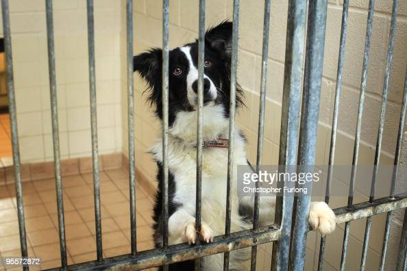 Max a two year old Border Collie waits to be rehomed at the Cheshire Dogs Home on January 4 2010 in Warrington England The puppy is one of hundreds...