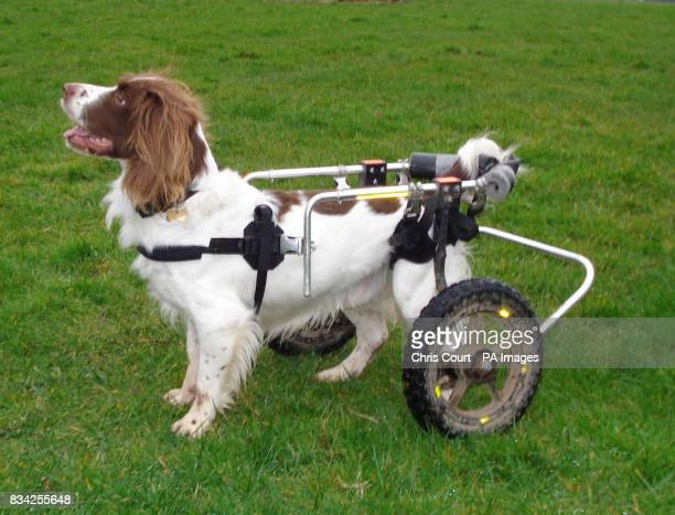 Max the retired police drug sniffer dog who regularly patrols his new rural beat with his own 'off road' wheels supporting his unstable hips