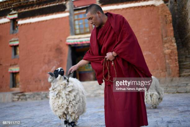 LHASA May 17 2017 Lama Ngawang Peljor plays with a goat at the Rongpu Monastery near Mount Qomolangma in southwest China's Tibet Autonomous Region...