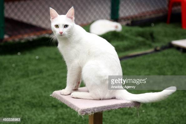 May 23 2014 dated pictures show Turkish Van cats found mainly in the Lake Van region of eastern Turkey and the city of Van also under protection and...