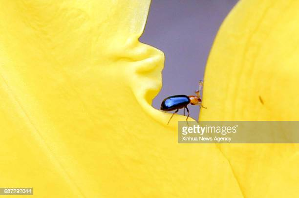 TEGUCIGALPA May 23 2017 A beetle is seen inside a flower in Tegucigalpa Honduras on May 22 2017 The International Day of Biological Diversity is...