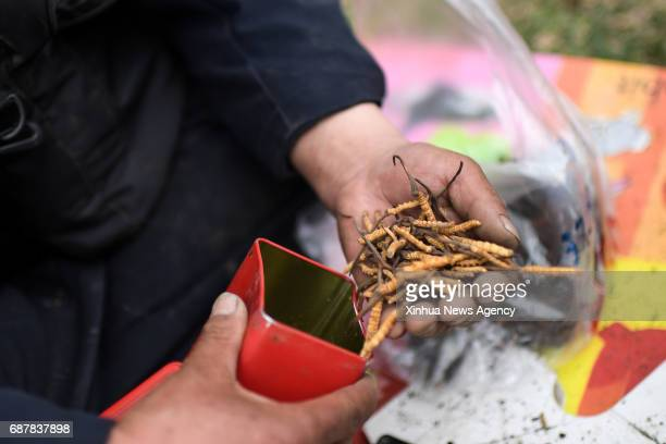 XINING May 23 2017 A dealer collects the caterpillar fungus in Ping'an District of Haidong City northwest China's Qinghai Province May 23 2017 Many...