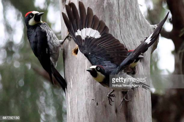 TEGUCIGALPA May 23 2017 Woodpeckers are seen around a tree in Tegucigalpa Honduras on May 22 2017 The International Day of Biological Diversity is...