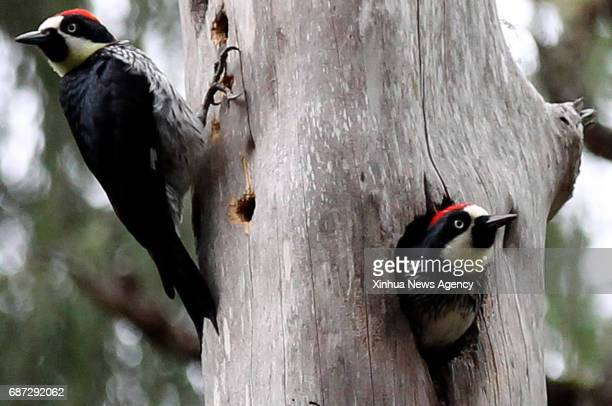 TEGUCIGALPA May 23 2017 Woodpeckers are seen on a tree in Tegucigalpa Honduras on May 22 2017 The International Day of Biological Diversity is...
