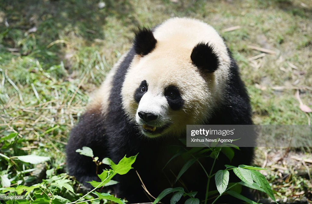 CHENGDU, May 24, 2016-- Photo taken on July 5, 2015 shows a giant panda in Chengdu Research Base of Giant Panda Breeding in Chengdu, southwest China's Sichuan Province. The number of wild giant pandas in Sichuan has risen in the past decade, according to figures released Tuesday by the provincial forestry department. There are 1,387 wild pandas in Sichuan, up 15 percent compared to ten years ago. The number of captive pandas in Sichuan stands at 364, accounting for 86.3 percent of all captive pandas nationwide.