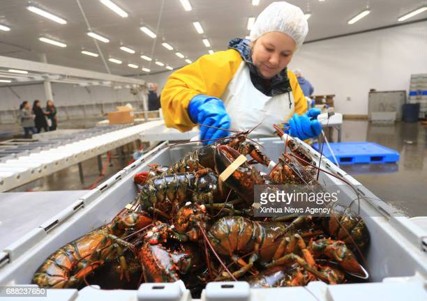 HALIFAX May 25 2017 A worker puts official quality program rubber bands in Chinese on live lobsters at a workshop of Nautical Seafoods Ltd in...