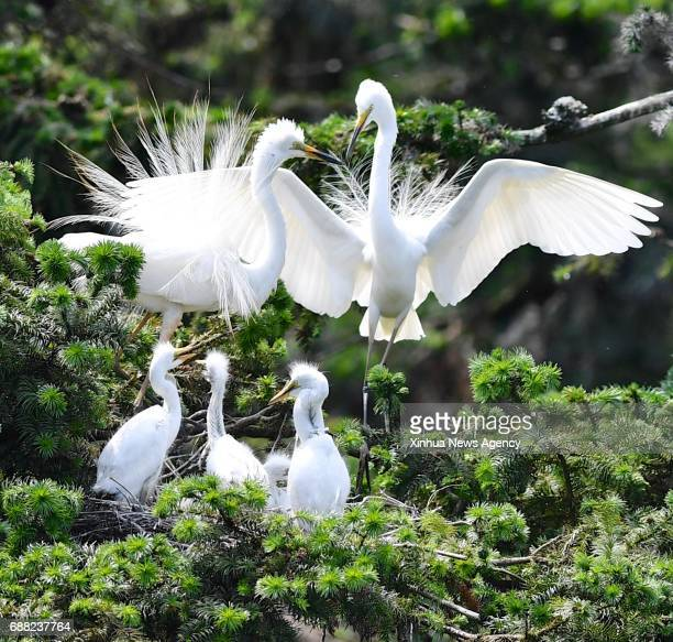 BEIJING May 25 2017 Photo taken on May 25 2017 shows egrets at the Xiangshan Forest Park in Nanchang City capital of east China's Jiangxi Province...