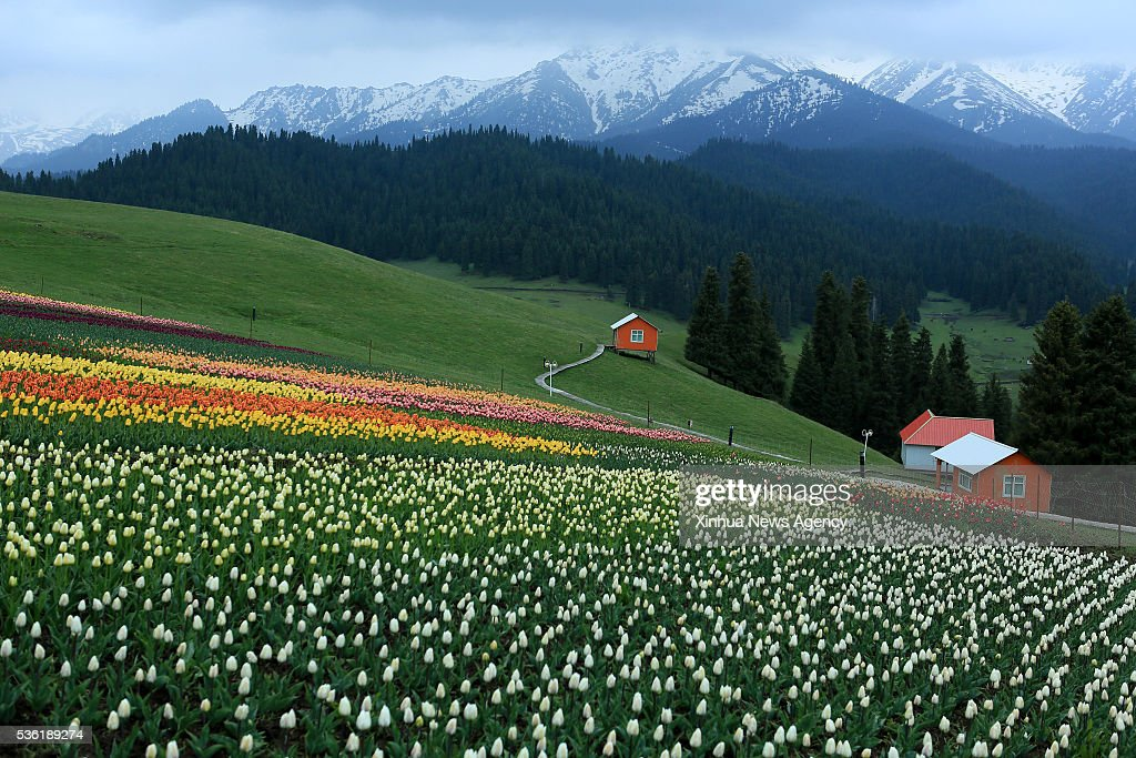 CHANGJI, May 31, 2016 -- Photo taken on May 29, 2016 shows a tulip farm in Changji, northwest China's Xinjiang Uygur Autonomous Region.