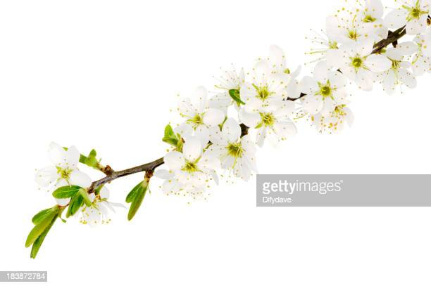 May Blossom From The Hawthorn Bush Isolated On White