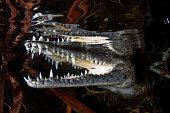 Mayan Crocodile