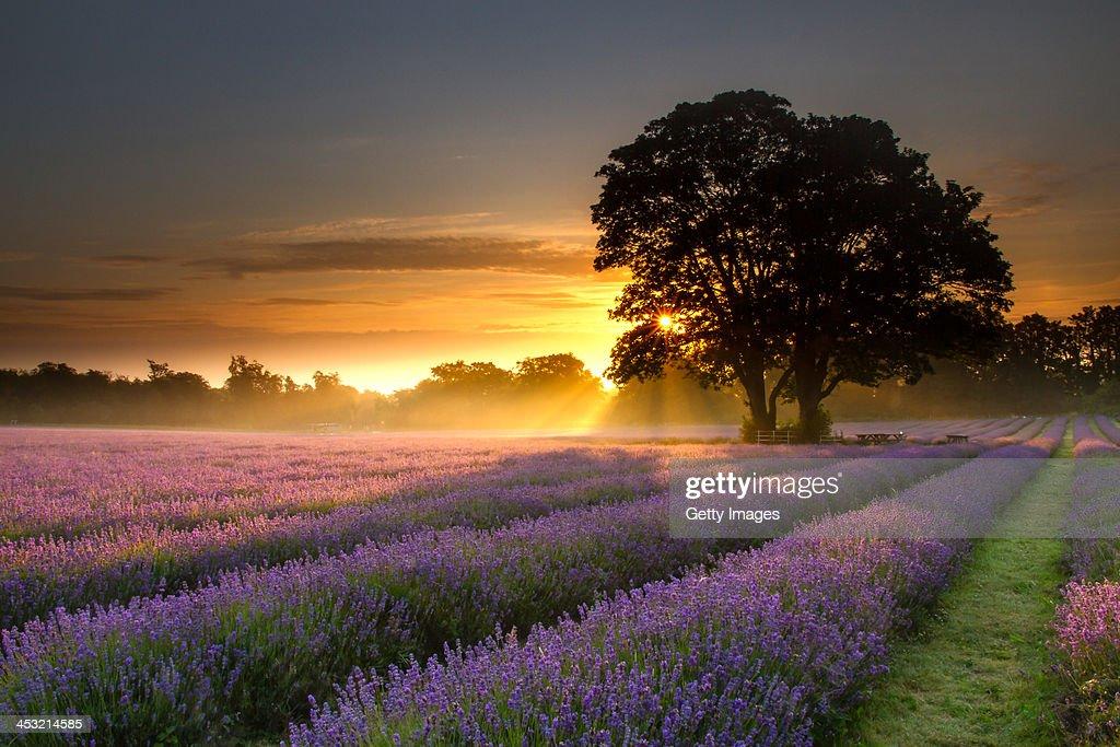 Mayfair lavender at sunrise